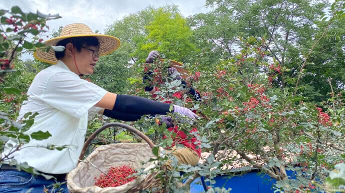 """云账户""""不忘初心—扶贫主题教育活动""""之采摘花椒,帮助村民在花椒最佳成熟期完成采摘,卖上好价钱。"""
